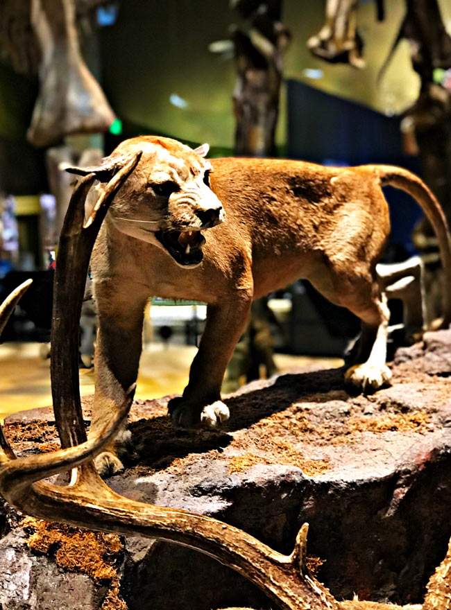 Big cat at the Perot Museum of Nature and Science! | spiritedandthensome.com
