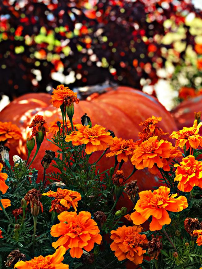 Pumpkins at Dallas Arboretum and Botanical Garden! | spiritedandthensome.com