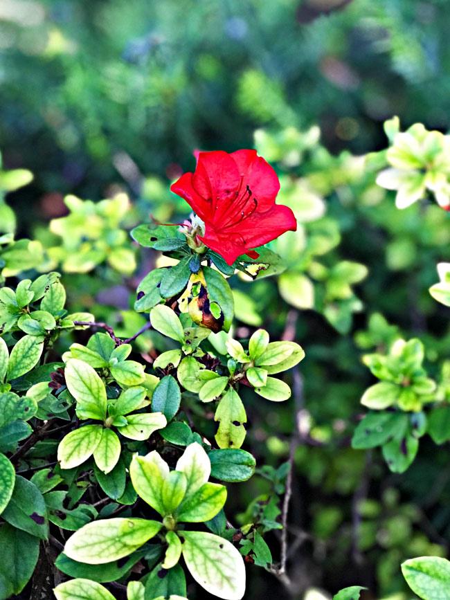 Red Flower at Dallas Arboretum and Botanical Center! | spiritedandthensome.com