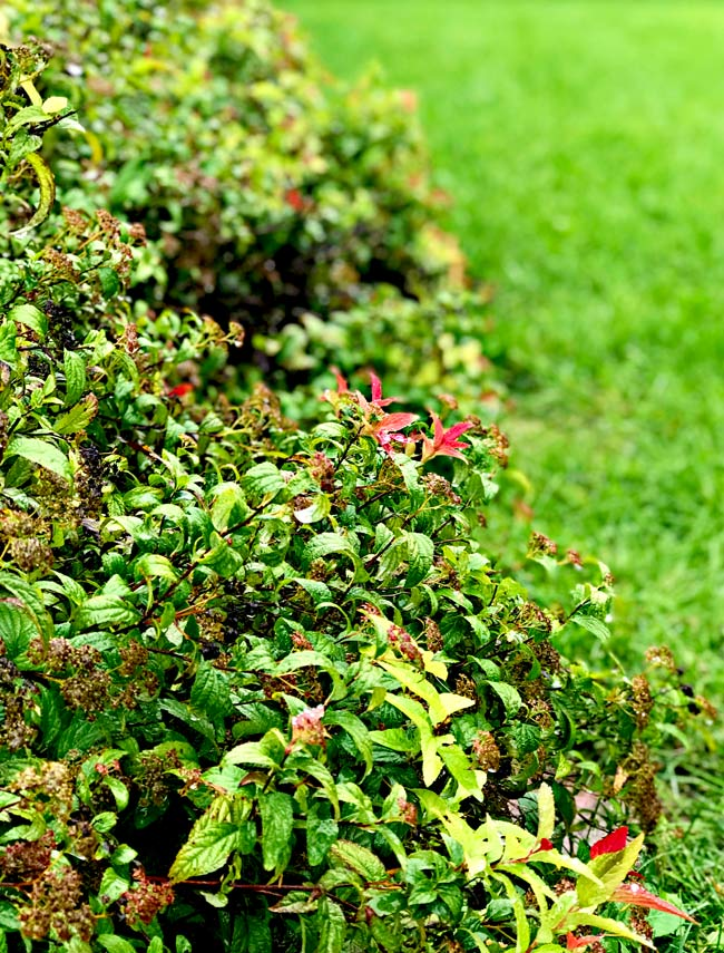 Beautiful spirea bush in autumn!   spiritedandthensome.com