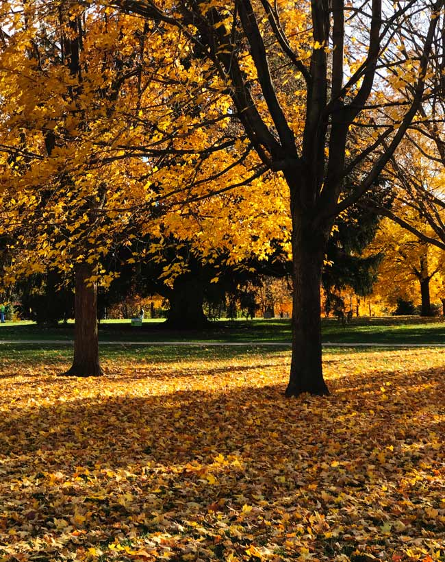 Yellow and orange fall leaves on the Iowa State University campus! | spiritedandthensome.com