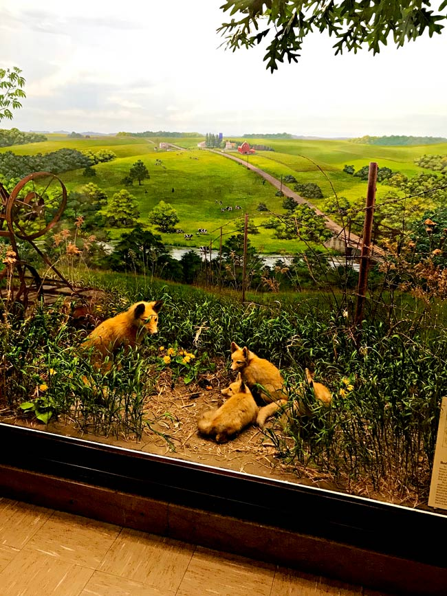 Foxes at the Natural History Museum at the University of Iowa!   spiritedandthensome.com