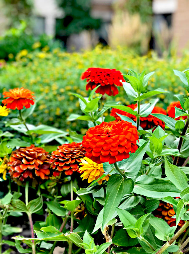 Orange flowers in a condo garden in Des Moines, Iowa! | spiritedandthensome.com