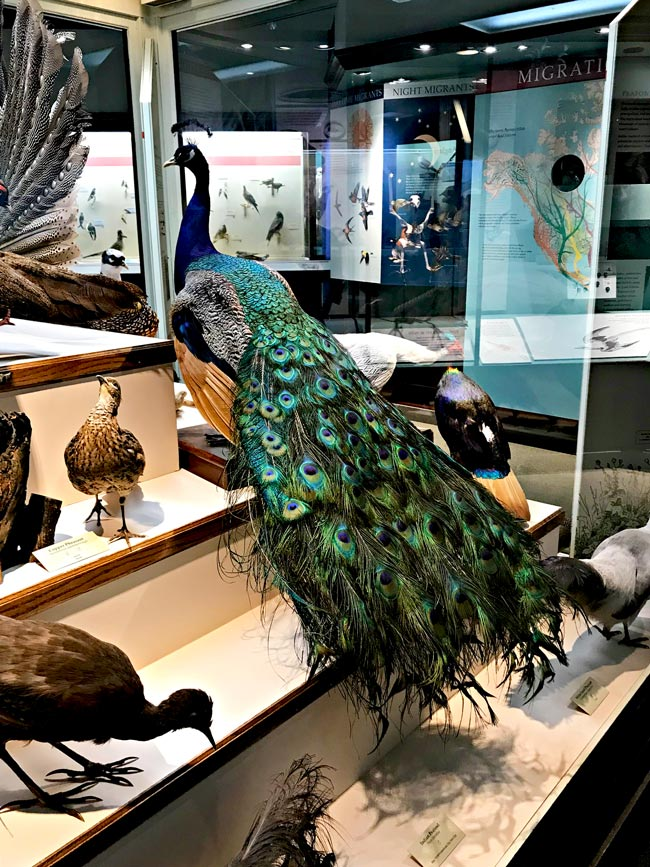 Peacock at the Natural History Museum at the University of Iowa!   spiritedandthensome.com