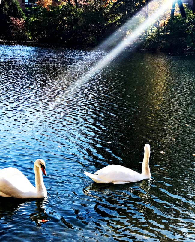 Swans, Lancelot and Elaine, at Lake LaVerne on the Iowa State University campus in Ames, Iowa! | spiritedandthensome.com