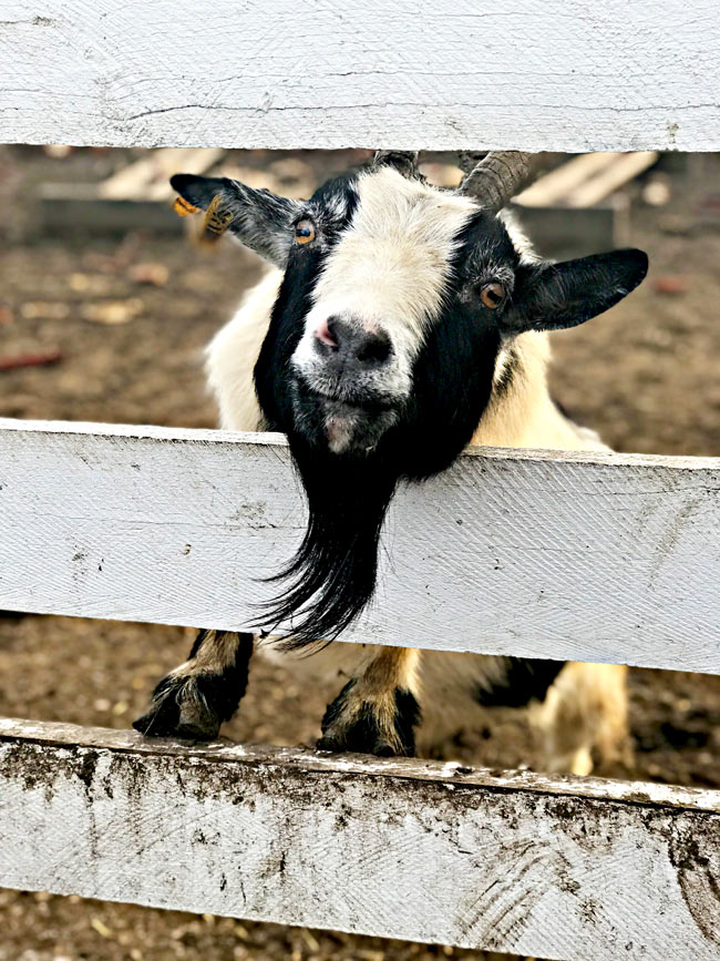 Adorable goat at Howell Tree Farm in Cumming, Iowa! | spiritedandthensome.com